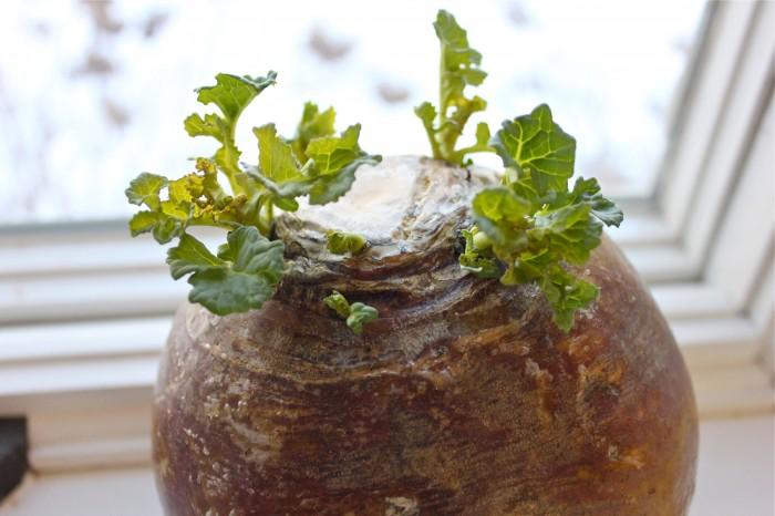 turnip world