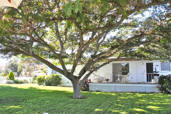 albizzia tree