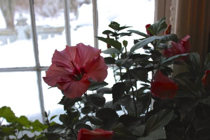 hibiscus grows in winter