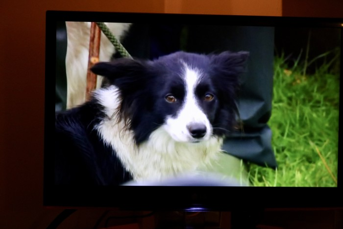 dog on tv shepherd contest